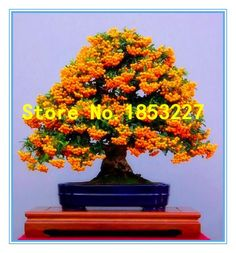 [Visit to Buy] Free shiping 50 Sea Buckthorn Seeds Landscape Bonsai Hippophae Rhamnoides Fruit #Advertisement