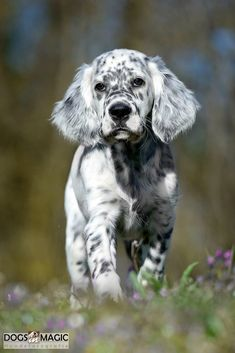 1 English Setter Welpe
