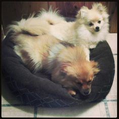 Malibu and Coco Pomeranian Puppy, Pomeranians, My Boo, Ferret, Fox, Puppies, Bear, Cute, Animals