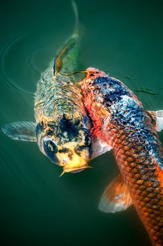Koi fish, I can't imagine the joy of watching these wonders of nature in your own pond.