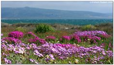 Between mid-August and mid-September the Namaqualand region erupts into a wonderland of floral magic - literally a few hundred square kilometres of blooming flowers! Champs, Wildwood Flower, African Love, Spring Flowering Bulbs, Exotic Plants, Travel Planner, Africa Travel, Wild Flowers, Blooming Flowers