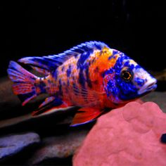 Marble Peacock 4/6cm £7.95 - aggressive rock dwelling fish