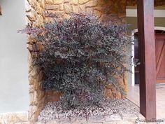 Arbusto semi-herbáceo, pertence à família Vitaceae, nativo da Índia, Burma e Malaia, perene, entoucerado, de 2,0 a 2,5 m de altura e 1,5 metros de d