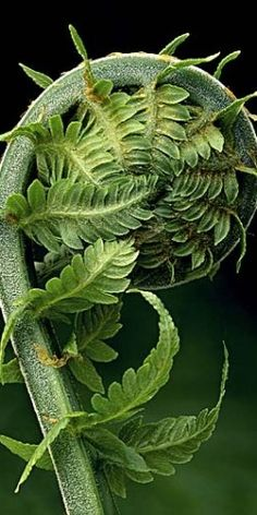 Fern unfurls