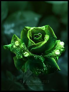 Queen of the Forest Green Rose with Dewdrops