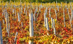 La bellezza dei colori dei #vigneti in autunno in #Valtellina