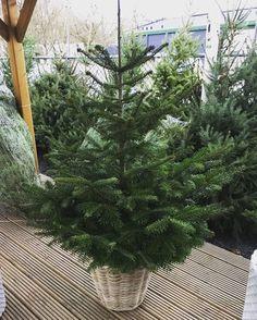 Bij aanschaf van een rieten mand krijgt u de boom met 50% korting!!! Verschillende soorten en maten manden. Kom langs en profiteer van deze mooie aanbieding #kerstboom #hemmes #korting #tuindeco