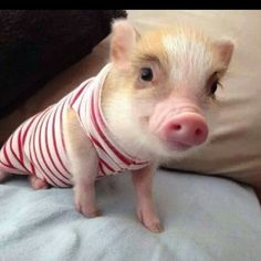 Piggie stripes