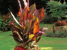 Canna 'Durban' foliage emerges with dark red stripes highlighted with pink, bronze and pale yellow striping that ages to a bronze green with yellow stripes. The large, orange-red flowers are an added bonus.