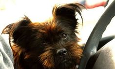 Perfiles: Affenpinscher Animals, Exotic Pets, Birds, Dogs, Home, Animales, Animaux, Animal, Animais