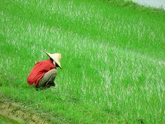 Woman in rice field by Roberto Bertuol, via Flickr