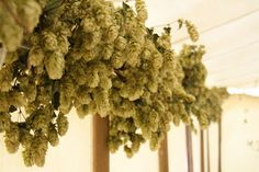 Hops garland - so versatile, so pretty and they smell good Hops Wedding, Wedding Flowers, Dream Wedding, Wedding Reception Decorations, Wedding Themes, Wedding Ideas, Hops Vine, Hops Plant, Halloween Costume Party Invitations