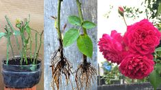 Giâm cành hoa hồng bằng xác cà phê | How to multiply roses - YouTube Beaded Jewelry, Glass Vase, Youtube, Gardening, Decor, Gardens, Roses, Rose Stem, Tips And Tricks