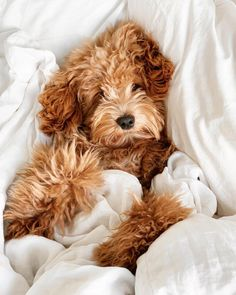 Dog And Puppies Memes .Dog And Puppies Memes Cute Baby Animals, Animals And Pets, Funny Animals, Cute Dogs And Puppies, I Love Dogs, Doggies, Bichon Havanais, Fur Babies, Dog Breeds