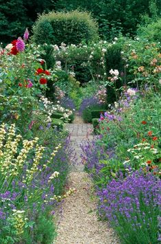 Country cottage garden in summer. Gravel path with mixed borders of roses, lavender, Lavendula angustifolia Hidcote and perennials.