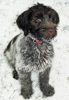Wirehaired Pointing Griffon on