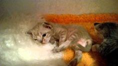 Queenie Devonland, 15 дней, котенок девон рекс, девочка