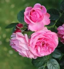 Fragrant Roses Can Grant Your Garden The Perfect Scent - Garden Lovers Club Rose Images, Rose Pictures, Fresh Flowers, Beautiful Flowers, Clover Field, Ronsard Rose, Fragrant Roses, Types Of Roses, Single Rose