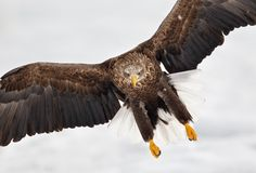 eagle flying towards camera - Google Search