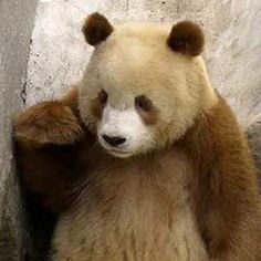 Qinling panda found only in the Qinling Mountains in western China