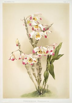 Free Public Domain | www.rawpixel.com | Dendrobium wardianum from Reichenbachia Orchids (1888-1894) illustrated by Frederick Sander (1847-1920).