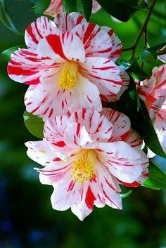 Peppermint flowering camillias