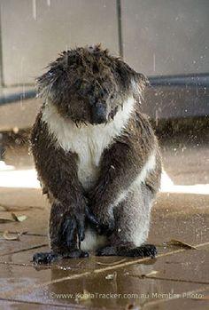 koala being bathed and he does NOT look happy! Cute Funny Animals, Cute Baby Animals, Animals And Pets, Wild Animals, Beautiful Creatures, Animals Beautiful, Wombat, Koala Marsupial, Australia Animals