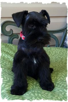 Swains Sweet Schnauzers - Our Mommies Link: https://www.sunfrog.com/search/?64708&search=schnauzer&cID=62&schTrmFilter=sales