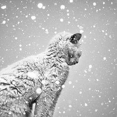 Snow cat on patrol.