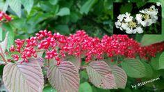 <라나스덜꿩나무>의 루비같이 영롱한 빨간 열매 ㅡ右上은 <라나스덜꿩나무>의 화려한 꽃