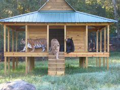 Lions and Tigers and Bear, oh my! They were rescued when they were cubs during a drug raid in Atlanta. They were in poor condition when they were found, but thrive under the care of Noah's Ark. Still BFFS , they don't like to separate  and prefer to stick together.