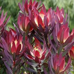 blush leucadendron - Google Search