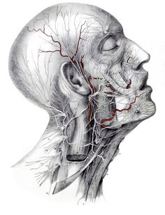 Dissection of the head and neck; distribution of the facial nerve, cervical spinal nerves, neck muscles.  From Manuel d'anatomie descriptive du corps humain (https://pinterest.com/pin/287386019950178976) by Jules Germain Cloquet (https://pinterest.com/pin/287386019948845673), published in 1825.