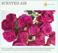 Scented air garden roses: all year $$$ Hot Pink Flowers, Spray Roses, Flower Arrangements, Happy Birthday, Bloom, Valentines, Shapes, Plants, Garden Roses