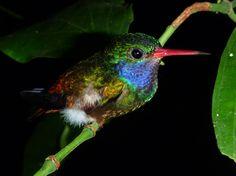 Blue throated Goldentail Hummingbird