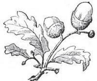 Oak Leaf And Acorn Drawing Oak tree, Leaves and O...