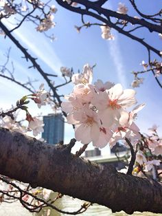 ☆Cherry★Blossom☆