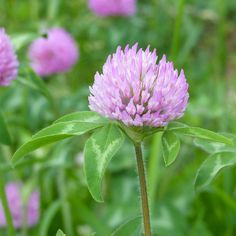 For a plant that is generally considered a weed, this one is lovely.