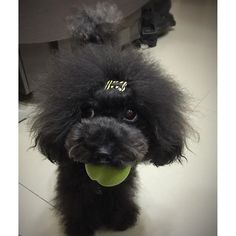 Baobao said: it's my ball, dun touch #poodle#toypoodle#blackpoodle#fluffy#cute#adorable#love#ilovemydog#paws#puppy#pup#dog#doggy#doglover#lovely#instadaily#igdaily#instadog#petstagram#犬#愛犬#貴賓犬#cutedog