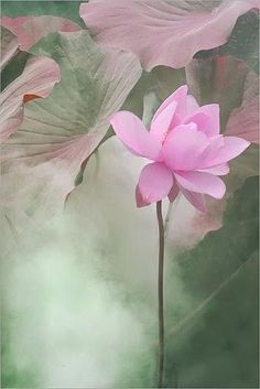 photo by rosemary White lotus lotus bloom Pink Lotus Flower Lotus. My Flower, Flower Art, Beautiful Flowers, Simply Beautiful, Art Flowers, Pink Flowers, Bloom, Pink Lotus, Lotus Art