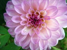 Dahlia, with it's perfect geometry of overlapping flower petals, is another spectacular artwork of Mother Nature.  No wonder, the flower symbolism associated with the dahlia is dignity, elegance.