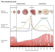 Do You Really Know What Happens During Your Menstrual Cycle?