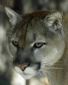 e89d2746f79c3 24 Best FELINE POWER images in 2012 | Wild animals, Animal pictures ...