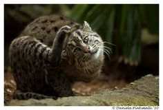 Finally I got a fishing cat in my gallery, the ones at Melbourne Zoo are so hard to get but this 3 legged kitty was nice and did funny poses Pic taken at Taronga Zoo. Print available upon request. ... TVD-Photography