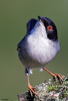 The Sardinian Warbler (Sylvia melanocephala) is a common and widespread typical warbler from the Mediterranean region. It breeds in the southernmost areas of Europe and just into Asia in Turkey and the eastern end of the Mediterranean.