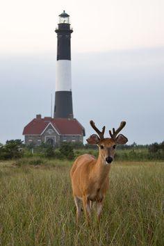 A Lone Buck - Fire Island Lighthouse - Long  Island, New York