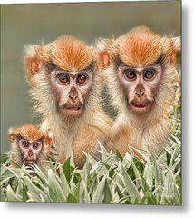 Patas Monkeys II Metal Print by Jim Fitzpatrick