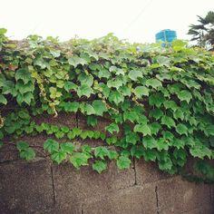 seendaeun / 담쟁이덩쿨 #Green #풍경 #담벼락 #담쟁이덩쿨 / #골목 #식물 / 2013 06 27 /
