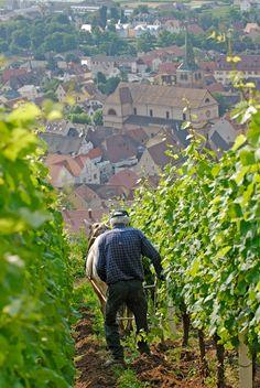 harte Arbeit in den Weinreben ~ Alsace ~ France ~ ღ ~ Skuwandi