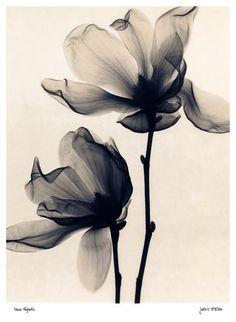 Tulpen-Magnolie Kunstdruck